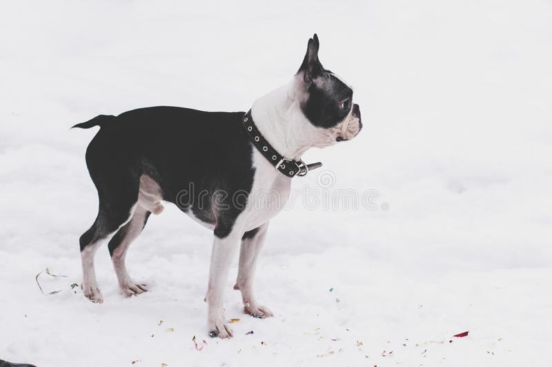Dog breed Boston Terrier on a winter day for a walk royalty free stock photo