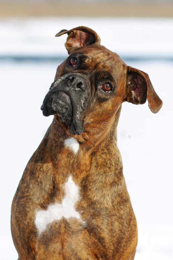 Dog breed boxer red color lies in the winter in the snow, a port. Rait in profile in the classroom for training royalty free stock images