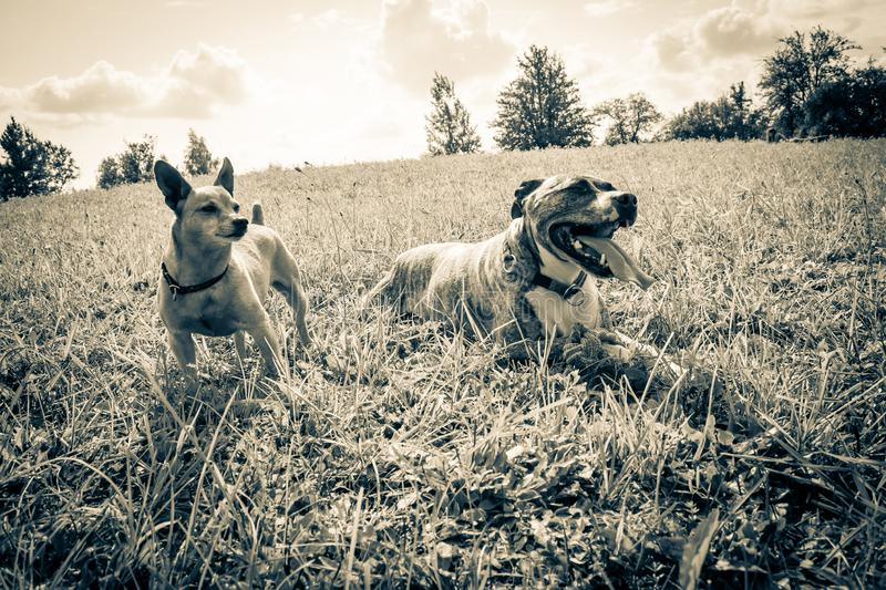 Dog breed Burbul and miniature pinscher on nature in the park in summer close-up. Black and white old grunge vintage photo.  stock photo