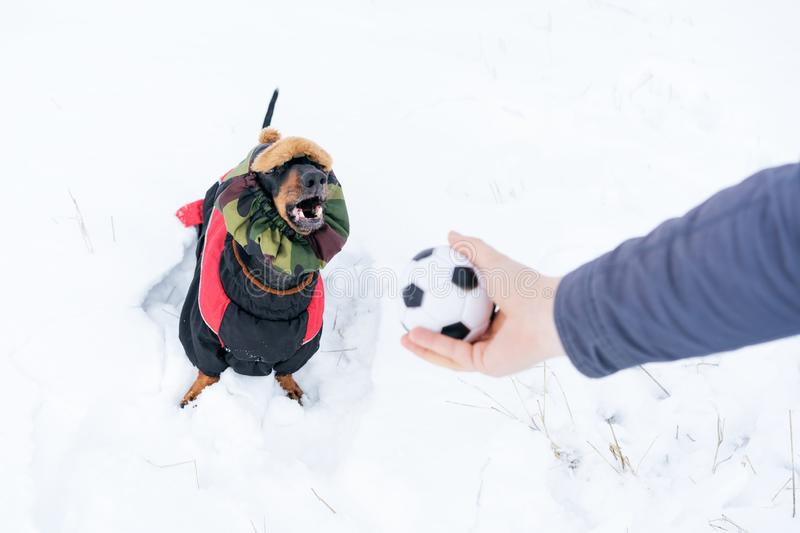 Dog, breed dachshund black and tan, in clothes and a hat, looks at the host`s hand with the ball in anticipation of the game. Pupp. Y playing in the game with a stock photos