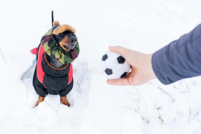 Dog, breed dachshund black and tan, in clothes and a hat, looks at the host`s hand with the ball in anticipation of the game. Pupp. Y playing in the game with a stock images