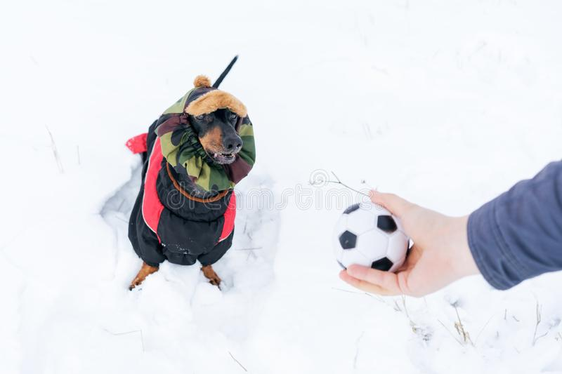 Dog, breed dachshund black and tan, in clothes and a hat, looks at the host`s hand with the ball in anticipation of the game. Pupp. Y playing in the game with a royalty free stock image