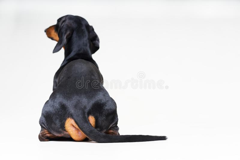 Dog breed of dachshund, black and tan looking straight, from behind showing back and rear torso , while sitting, on gray. Background royalty free stock photos