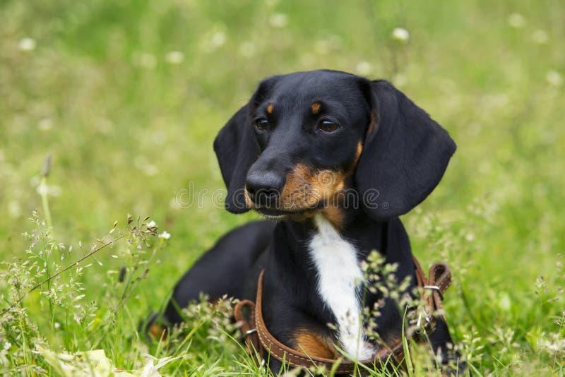 Dog breed dachshund stock image