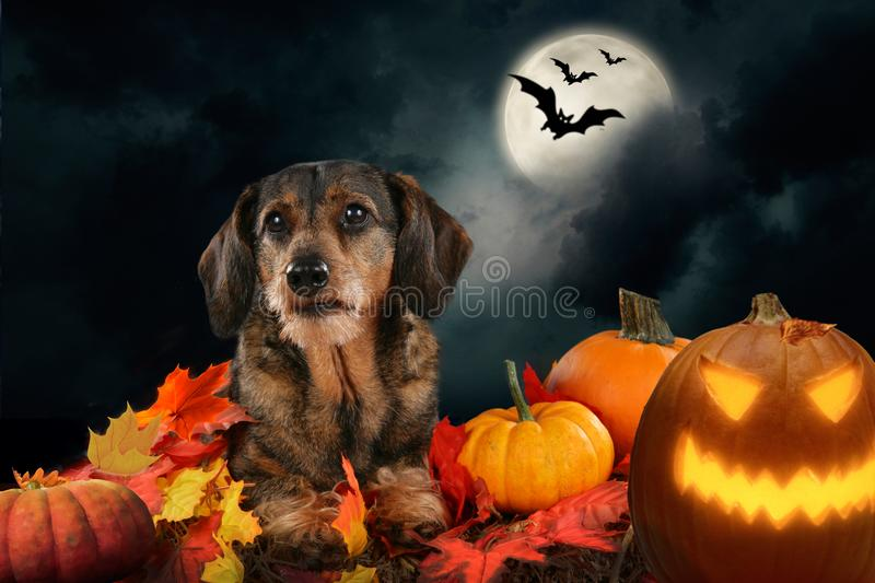 Dachshund Halloween Decorations.358 Dachshund Halloween Photos Free Royalty Free Stock Photos From Dreamstime