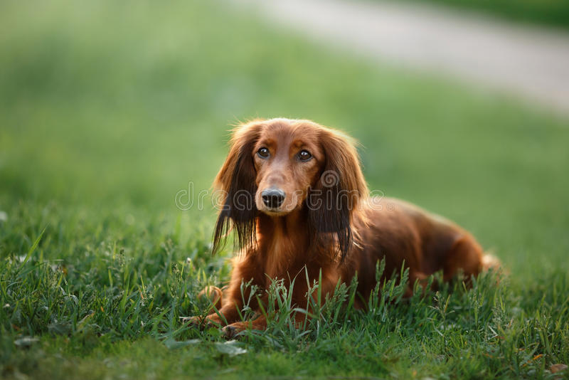 Dog breed dachshund. Walking in the evening, in the summer in the park royalty free stock images