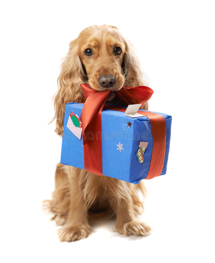Dog breed English Spaniel gives a gift. Beautiful dog breed English Spaniel gives a gift royalty free stock photos