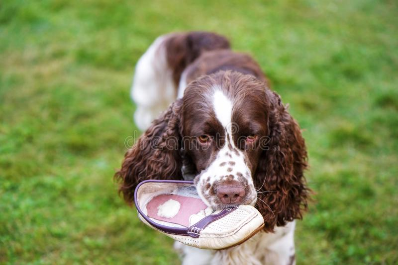 Dog breed English Springer Spaniel lies on the grass and plays with the owner& x27;s shoe. Dog nibbles on shoes. Dog breed English Springer Spaniel walking stock photography