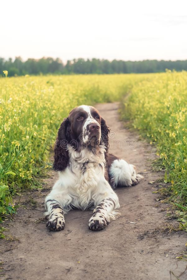 Dog breed English Springer Spaniel in summer wild flowers field. Cute sad pet lie in nature outdoor on evening sunlight royalty free stock photos