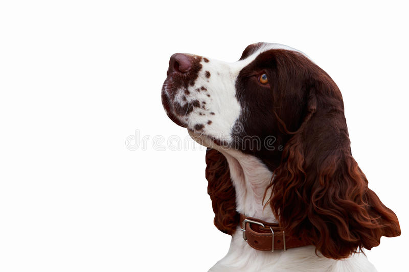 Dog breed English Springer Spaniel. On white background royalty free stock photography