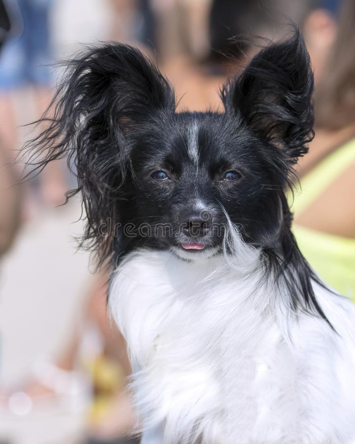 Dog breed epagneul dwarf continental papillon royalty free stock photos