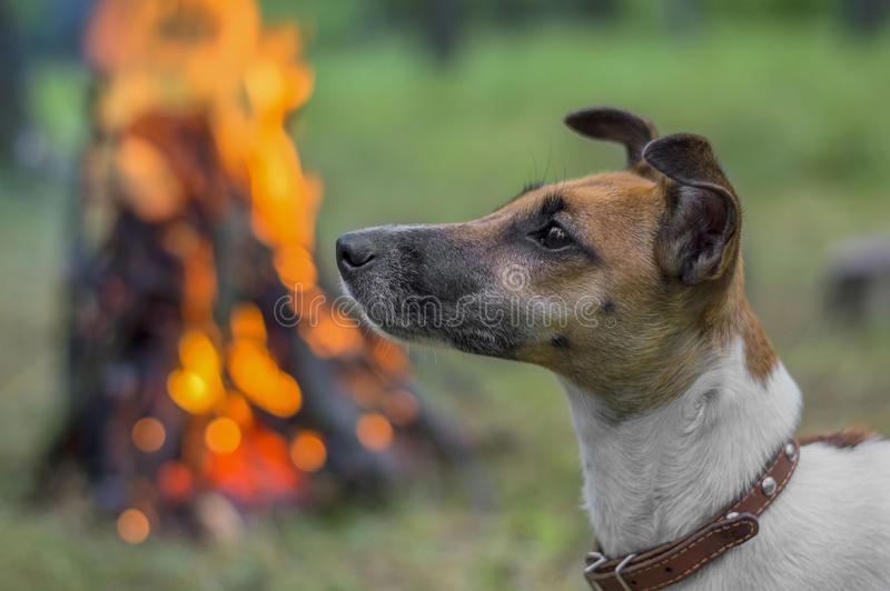 Dog breed fox terrier in the woods on a background of fire.  royalty free stock photography