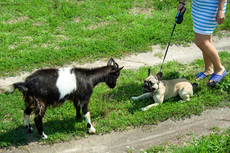 Dog breed French Bulldog playing with a goat royalty free stock images