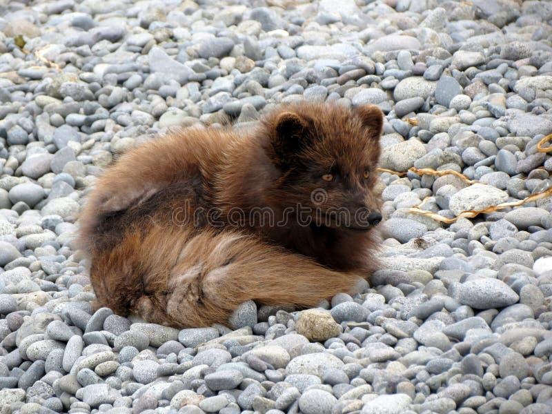 Dog Breed Group, Dog Like Mammal, Fauna, Pomeranian royalty free stock image