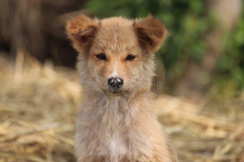 Dog Breed, Dog Breed Group, Street Dog, Dog Like Mammal stock photography