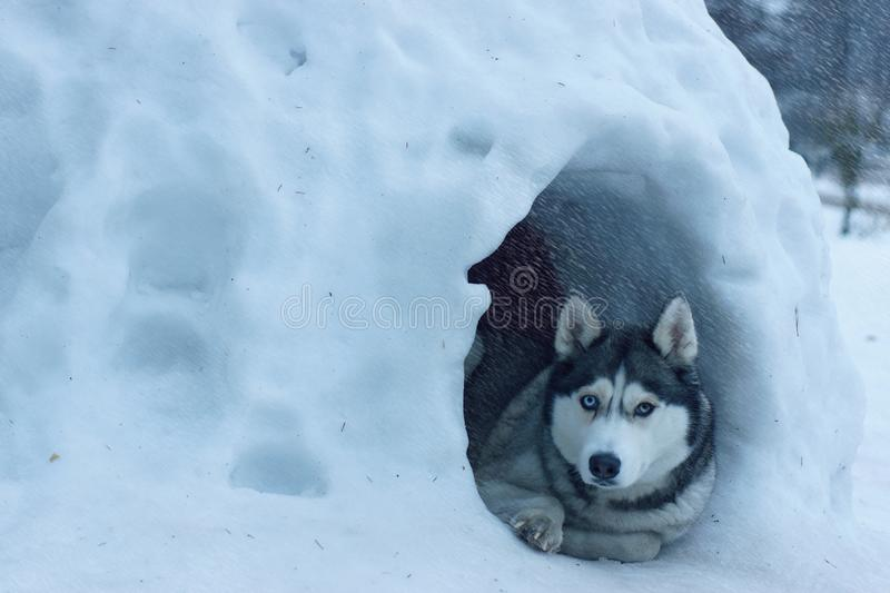 The dog breed Husky lies at the entrance to the snowy house, called igloo among the Eskimos, it is heavy snow.  stock images