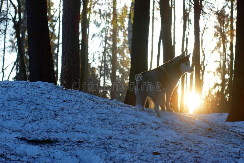 A dog breed Husky stands in the woods in early spring and looks away, the sun rises from behind a hill covered with snow royalty free stock photos