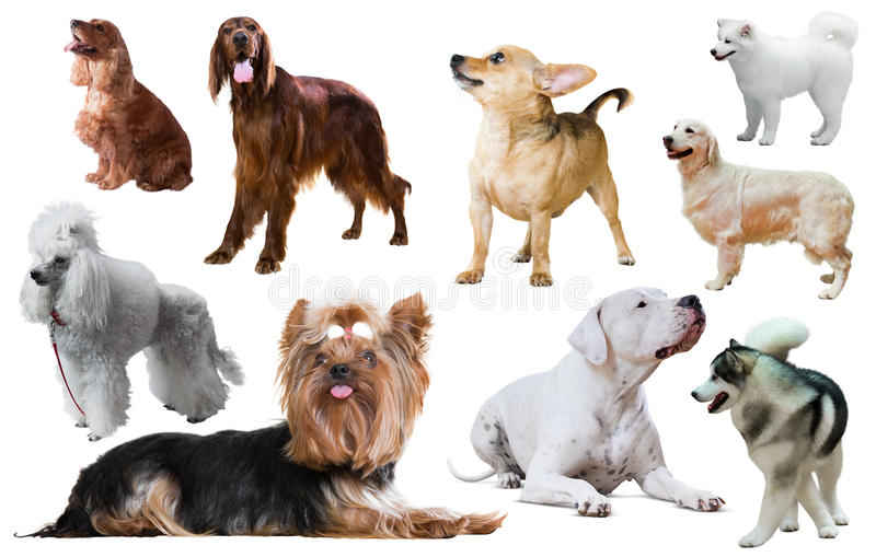 Dog breed isolated stock photography