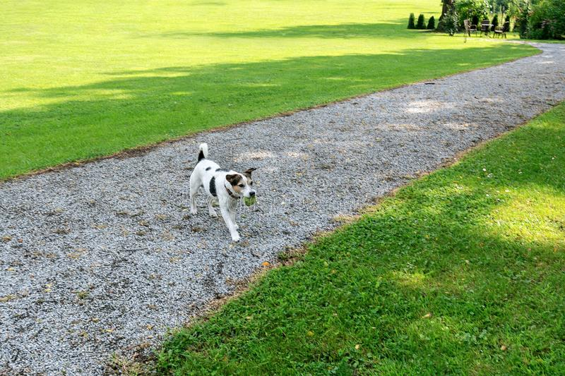 Dog breed Jack Russell goes to the owner with the ball in its mouth in the park royalty free stock photography