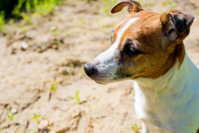 Dog breed Jack Russell Terrier. Close-up royalty free stock photos