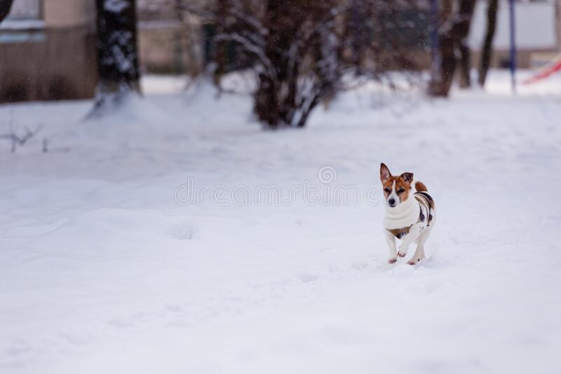 Dog breed Jack Russell Terrier runs through the snow. Pets royalty free stock image