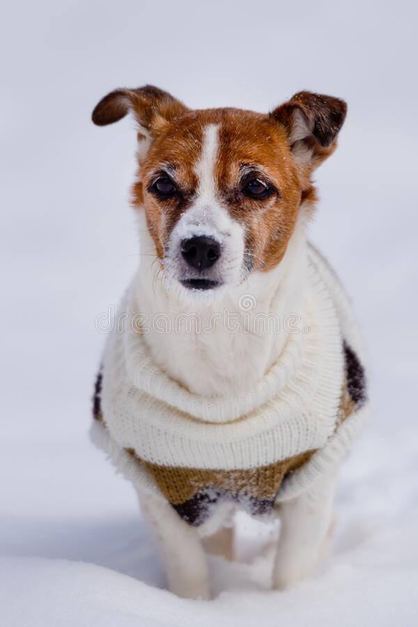 Dog breed Jack Russell Terrier sits on the snow. Animals royalty free stock images