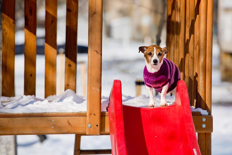 Dog breed Jack Russell Terrier sits on the snow. Pets stock photos