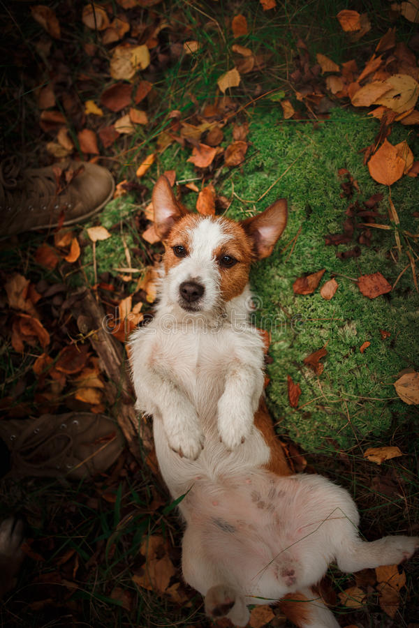 Dog breed Jack Russell Terrier walks on nature. Dog Jack Russell Terrier walks in the park, summer stock photography