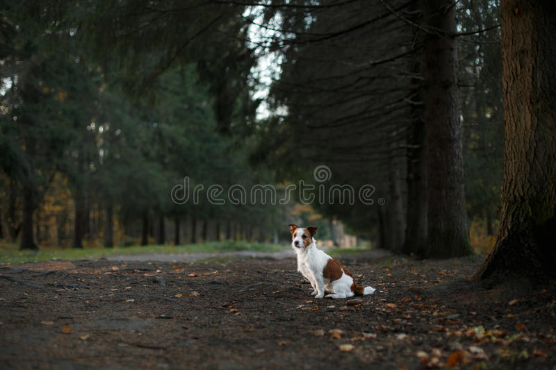 Dog breed Jack Russell Terrier walks on nature. Dog Jack Russell Terrier walks in the park, summer stock photos