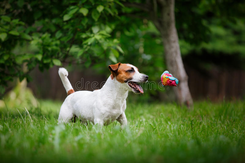 Dog breed Jack Russell Terrier walks on nature. Dog Jack Russell Terrier walks in the park, summer, plays the ball royalty free stock photos