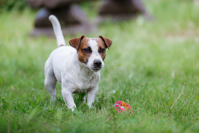 Dog breed Jack Russell Terrier walks on nature. Dog Jack Russell Terrier walks in the park, summer, plays the ball royalty free stock photography