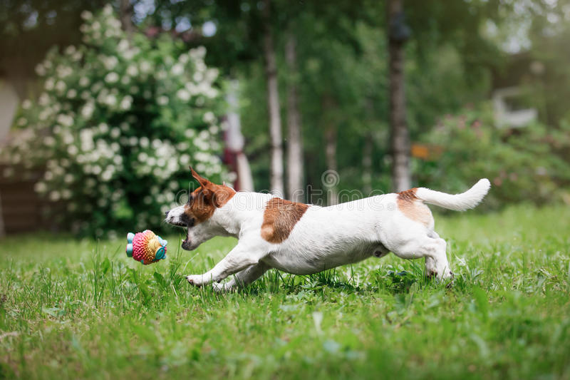 Dog breed Jack Russell Terrier walks on nature. Dog Jack Russell Terrier walks in the park, summer, plays the ball stock photo