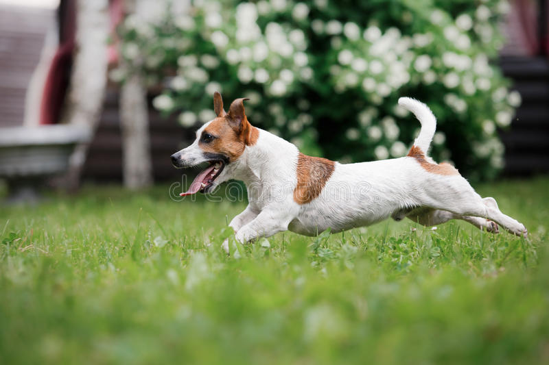 Dog breed Jack Russell Terrier walks on nature. Dog Jack Russell Terrier walks in the park, summer, plays the ball stock photos
