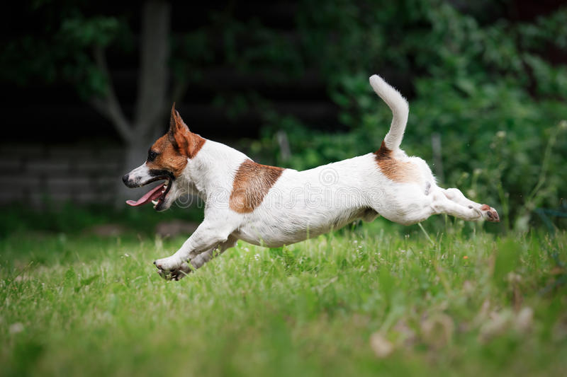 Dog breed Jack Russell Terrier walks on nature. Dog Jack Russell Terrier walks in the park, summer, plays the ball royalty free stock photo