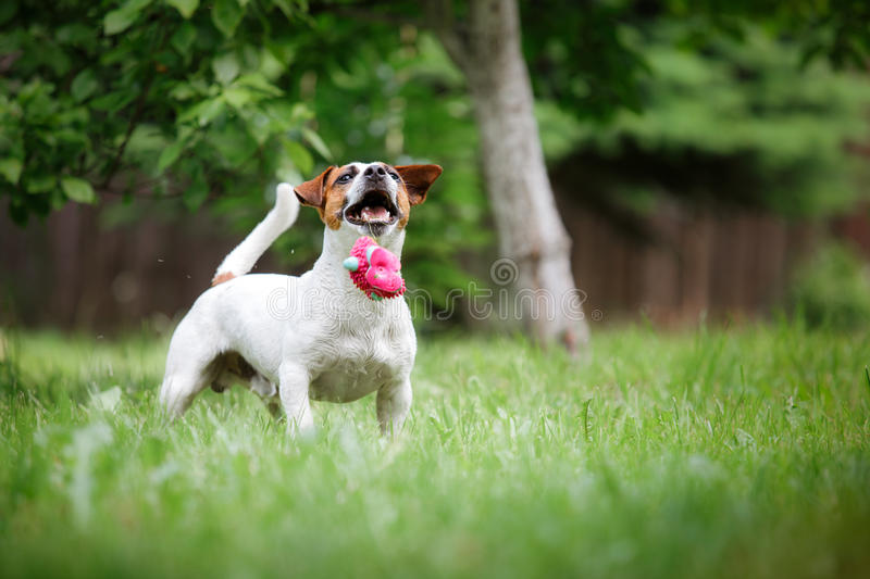Dog breed Jack Russell Terrier walks on nature. Dog Jack Russell Terrier walks in the park, summer, plays the ball stock photography