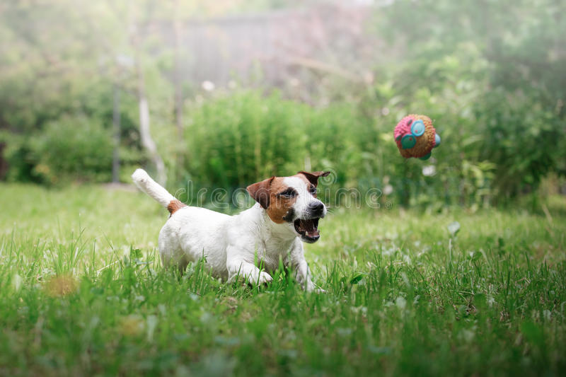 Dog breed Jack Russell Terrier walks on nature. Dog Jack Russell Terrier walks in the park, summer, plays the ball royalty free stock image