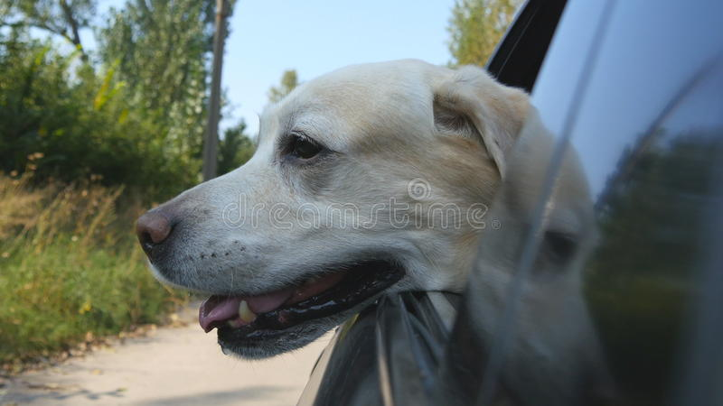 Dog breed labrador or golden retriver looking into a car window. Domestic animal sticks head out moving auto to enjoying. The wind and watching the world. Close stock photos