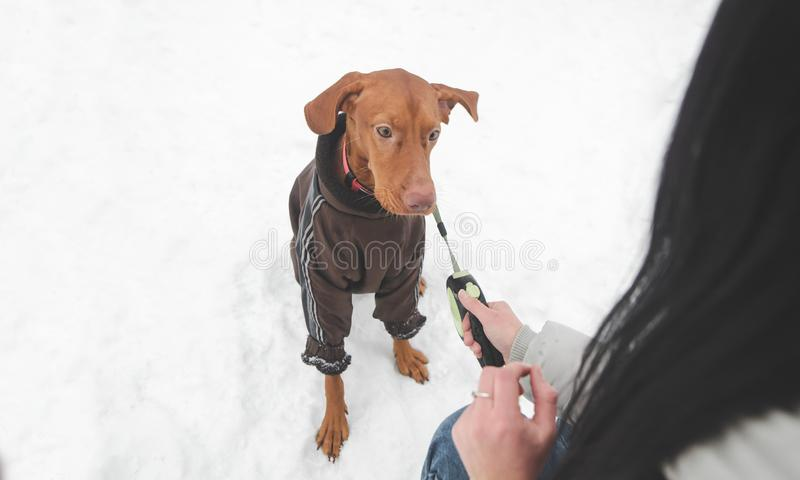 Dog breed of magyar vizsla in clothes and on a leash and hand of a woman playing with a pet on the background of snow. Beautiful brown dog breed of magyar vizsla royalty free stock photos
