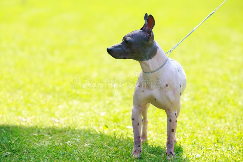 Dog breed mexican hairless dog royalty free stock photography