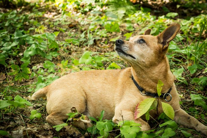 Dog breed miniature pinscher on the nature in the park in summer close-up. Dog breed miniature pinscher on the nature in the park in summer close-up royalty free stock photo