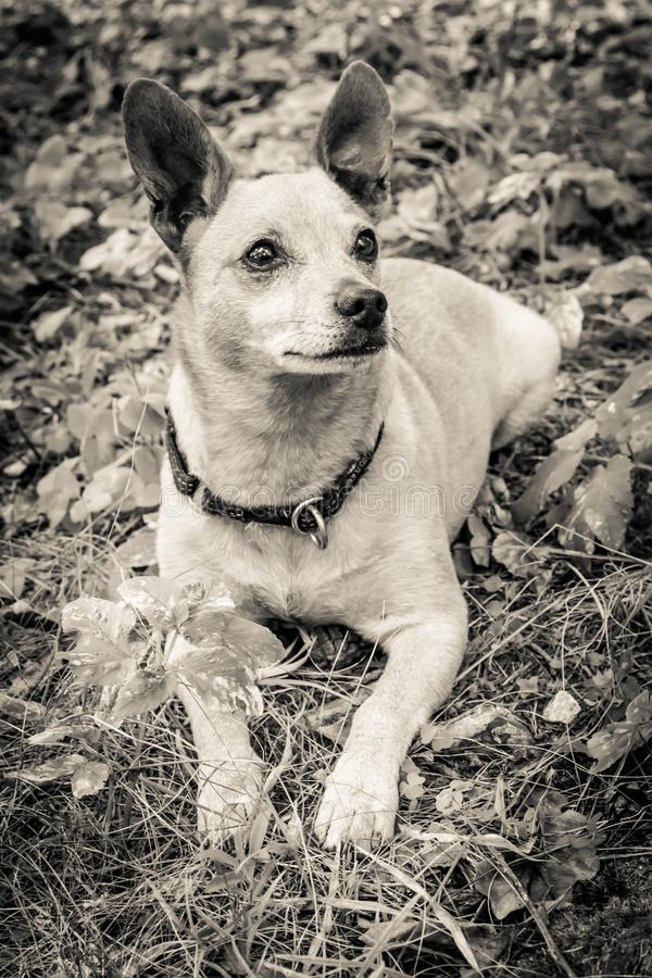 Dog breed miniature pinscher on the nature in the park in summer close-up. Black and white old grunge vintage photo royalty free stock image