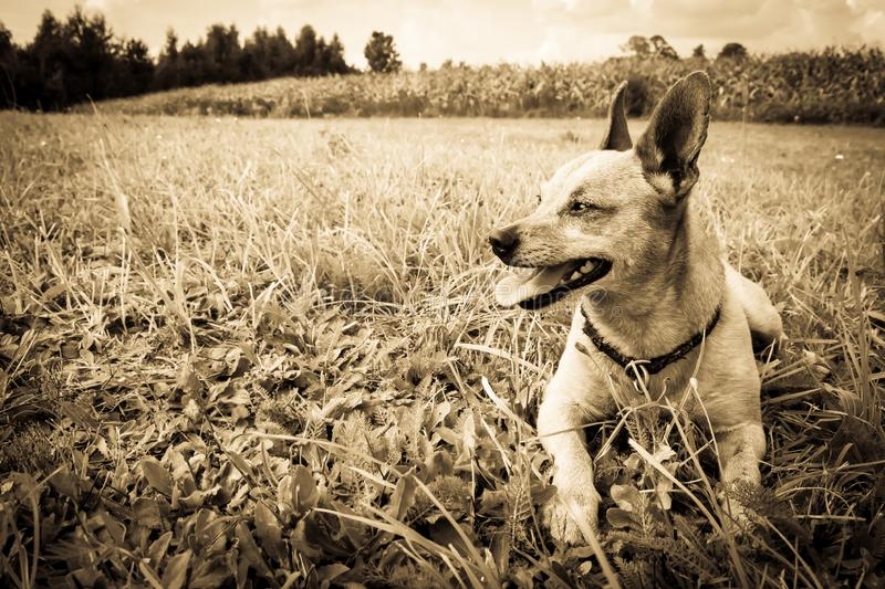 Dog breed miniature pinscher on the nature in the park in summer close-up. Black and white old grunge vintage photo.  royalty free stock photos