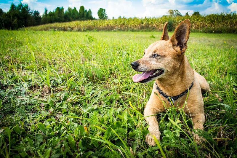 Dog breed miniature pinscher with tongue hanging out on the nature in the park in summer close-up. Dog breed miniature pinscher with tongue hanging out on the royalty free stock images