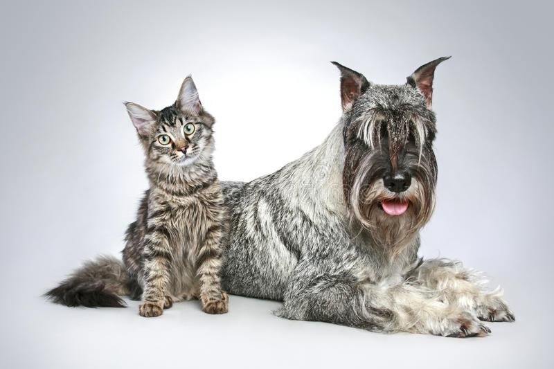 Dog of breed mittel schnauzer with a small kitten royalty free stock image