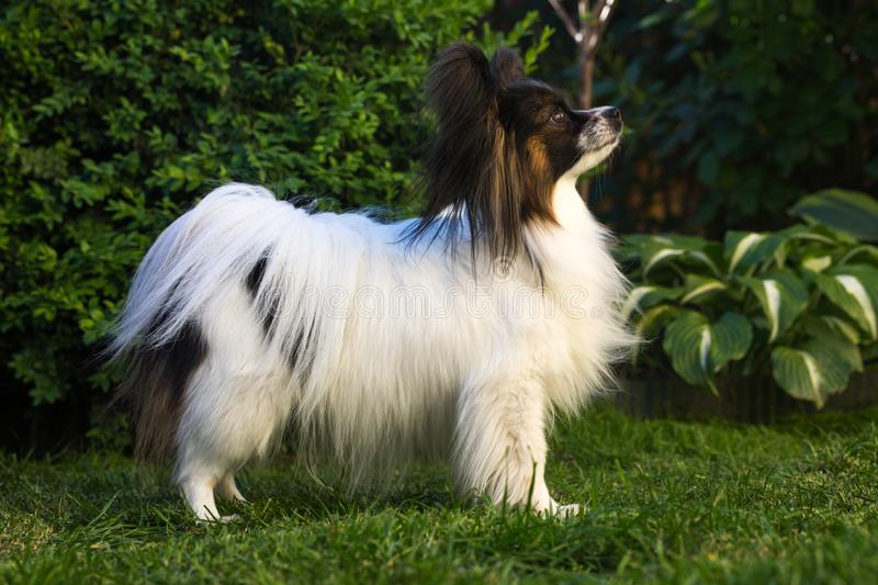 Dog of the breed papillon in the garden. Home pet, dog of the breed papillon in the garden stock photography