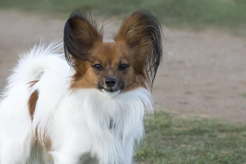 Dog breed papillon plays on the lawn. Pet Care.  royalty free stock images