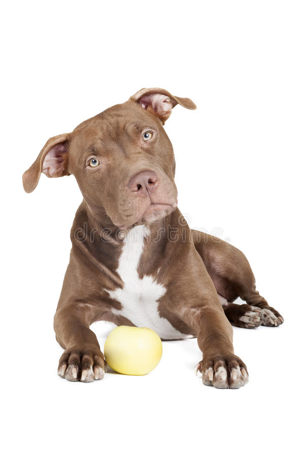 Dog breed pit bull with an apple stock photography