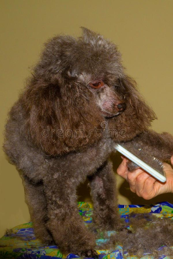 Trimming of wool and combing of a poodle. Dog breed poodle toy needs constant grooming. trimming of wool and combing of a poodle royalty free stock image