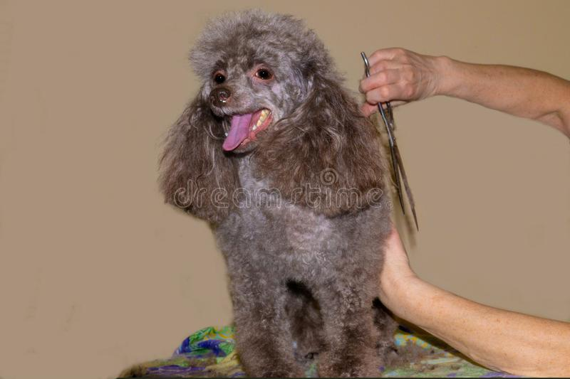 Trimming of wool and combing of a poodle. Dog breed poodle toy needs constant grooming. trimming of wool and combing of a poodle stock photo