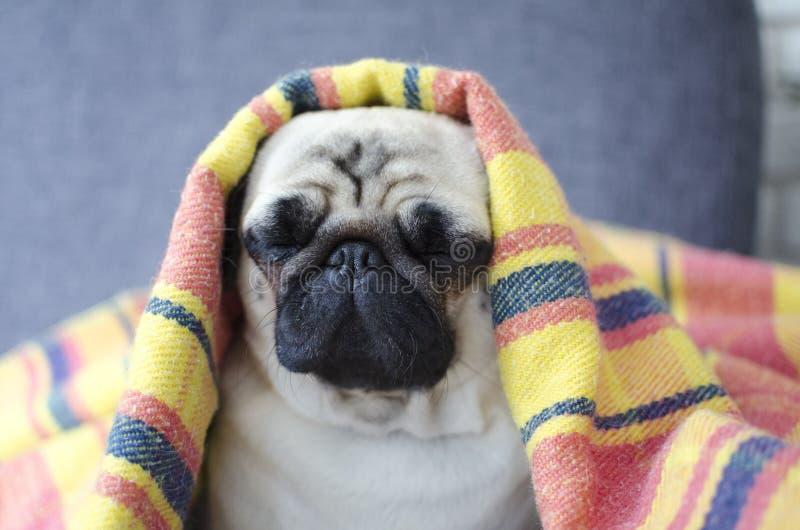 Dog breed pug wrapped in blanket looks like pharaon.  stock image